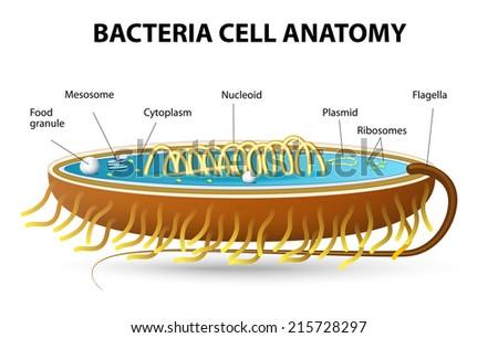 Bacteria cell anatomy - stock photo