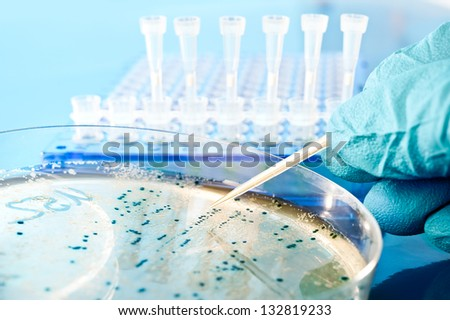 Bacterial colony picking for DNA cloning - stock photo