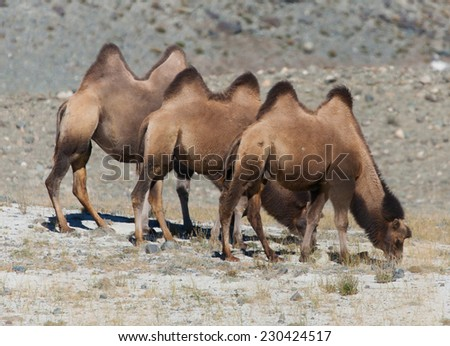 Bactrian camels on the background of mountains - stock photo