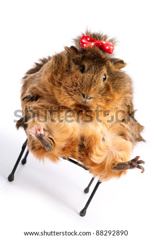 Bad Diet. Funny guinea pig portrait over white background - stock photo