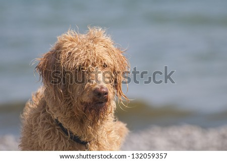 Bad hair day at the beach for this labradoodle dog, selective focus on the waves and water in the background with a copy space area - stock photo