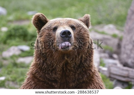 bad manners from grizzly bear - stock photo