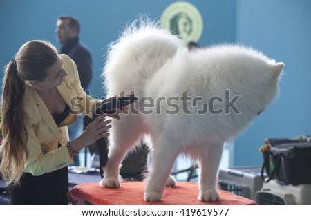 Badajoz, Spain - May 8, 2016: International Exhibition Ed. of dogs. Smiling Sammy dog under the care of its owner before the exhibition contest - stock photo