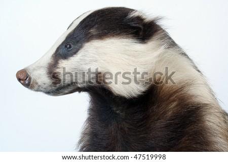 badger - stock photo