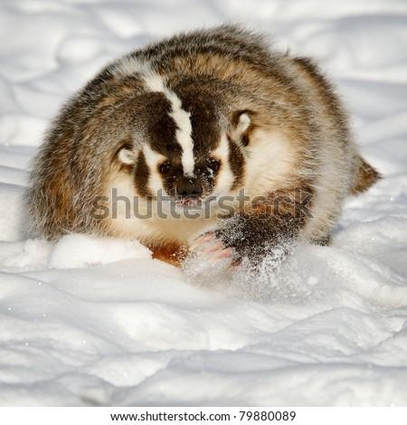 Badger in fresh snow - stock photo