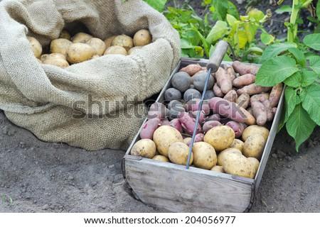 Bag and basket with fresh, different potatoes/potatoes/Potato varieties - stock photo