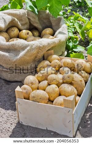 Bag and box with fresh, yellow potatoes/potatoes/Potato variety Satina - stock photo