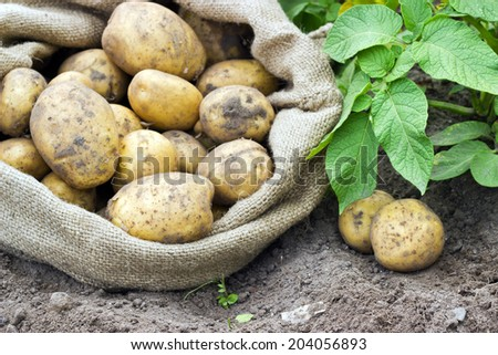 Bag with fresh, yellow potatoes/potatoes/Potato variety Satina - stock photo