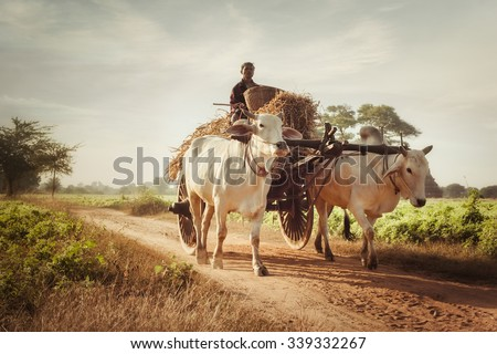 BAGAN, MYANMAR - DEC 27, 2014: Burmese rural man driving wooden cart with hay on dusty road drawn by two white buffaloes. Rural landscape and traditional village life in Burma countryside - stock photo