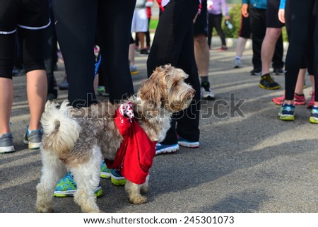 BAKERSFIELD, CA - JAN 17, 2015 This little dog is wearing his official T-shirt and is ready to start the running portion of the Rio Bravo Rumble biathlon (running and mountain biking). - stock photo