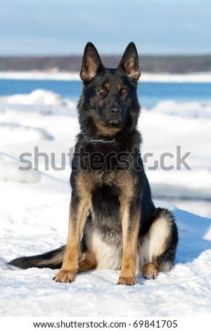 balck german sheepdog sitting on the snow - stock photo