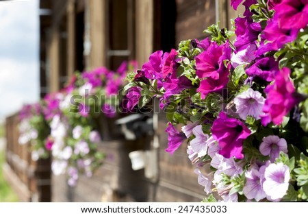 Balcony flowers on a traditional alpine house in the italian Dolomites Mountains, in Alpe di Siusi. - stock photo