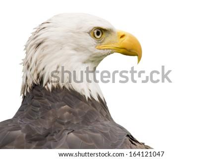 Bald American eagle isolated - stock photo