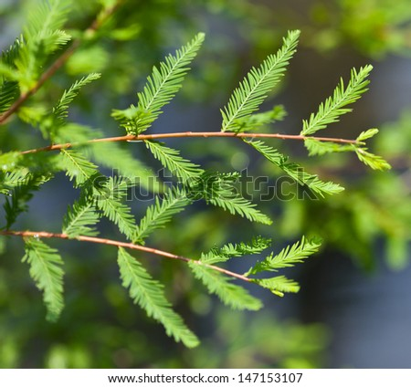 Bald Cypress leaves (Taxodium distichum) - stock photo