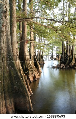 Bald Cypress trees along the shore of a Lousiana Lake - stock photo