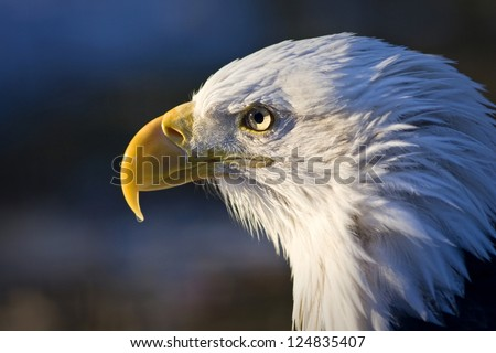 bald eagle - stock photo