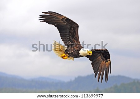 Bald eagle. British Columbia. Canada. - stock photo
