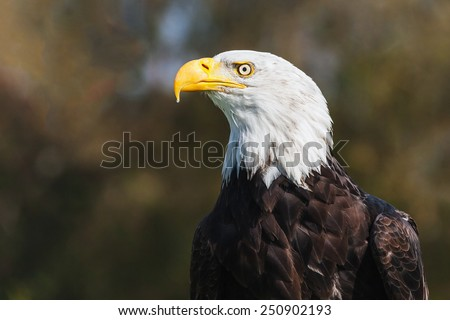Bald eagle by the woods. A head and shoulders study of a magnificent bald eagle in front of woodland. - stock photo