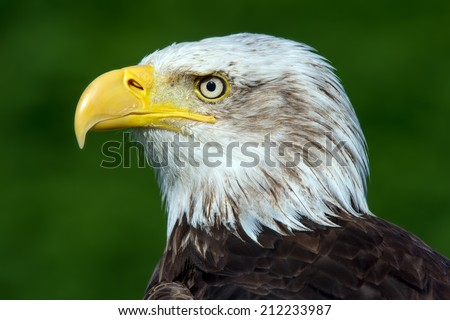 Bald Eagle close up against a vibrant green background/Bald Eagle/Bald Eagle (haliaeetus leucocephalus) - stock photo