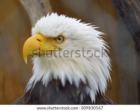 Bald Eagle Close up in Alaska - stock photo