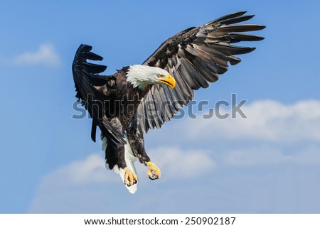 Bald eagle coming down. A majestic bald eagle prepares to land. - stock photo