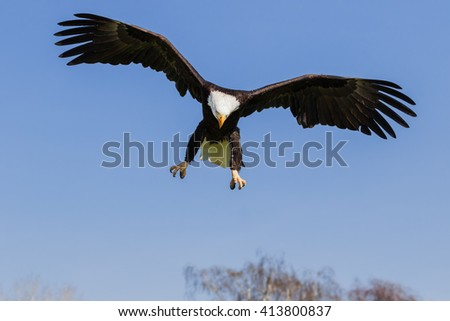 Bald Eagle coming down. An impressive bald eagle drops out of a clear blue sky. - stock photo