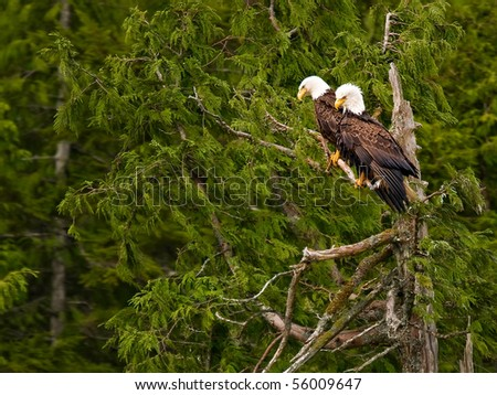 bald eagle Couple in a tree - stock photo