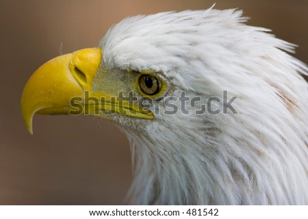 bald eagle Denver Zoo - stock photo