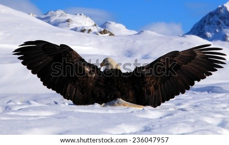 Bald eagle extending its wings - stock photo