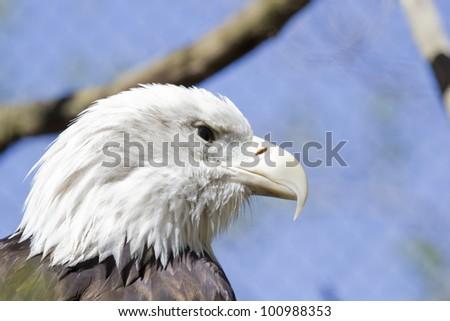 Bald Eagle Face - stock photo