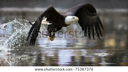 Bald Eagle fishing - stock photo