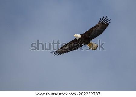 Bald Eagle flying, Homer Alaska - stock photo