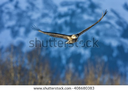 Bald eagle flying over snowy Alaskan landscape with enormous mountains in the background - stock photo