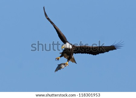 Bald Eagle flying with caught fish in talons. - stock photo