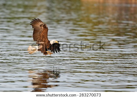 Bald eagle flying with talons out - stock photo