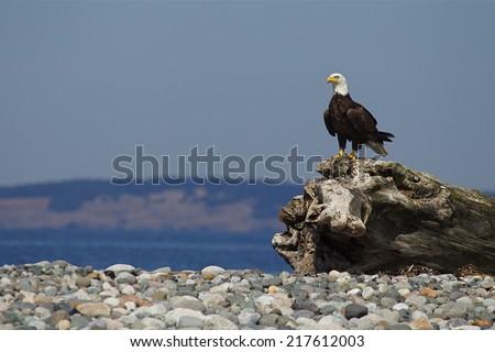 Bald Eagle, Haliaeetus leucocephalus Environmental Portrait perched on drift wood, Smith Island, part of San Juan Islands National WIldlife Refuge on the coast of the Pacific Ocean in Washington State - stock photo