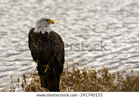 Bald Eagle (Haliaeetus leucocephalus), Harrison-Chehalis Flats, British Columbia, Canada - stock photo
