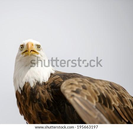 Bald Eagle (Haliaeetus leucocephalus) is a North American bird of prey  - stock photo