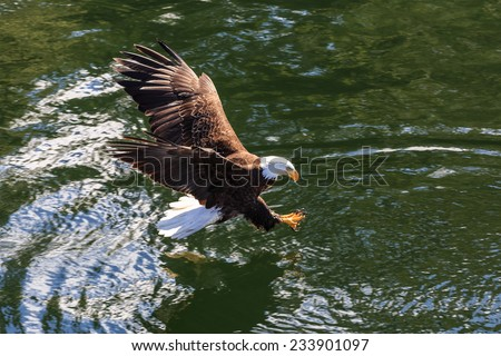 Bald Eagle has spotted its prey and diving down, Alaska - stock photo