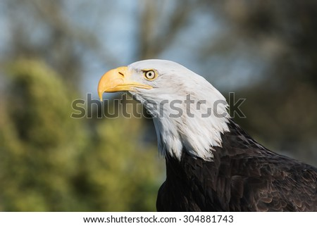 Bald eagle head and shoulders. A close-up head and shoulders view of a magnificent bald eagle. - stock photo