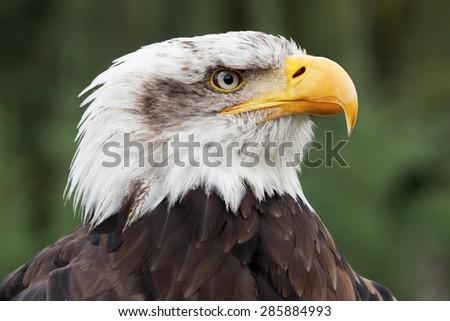 bald eagle head close up portrait - stock photo
