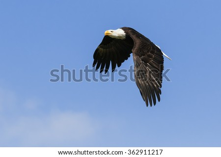 Bald eagle in flight. A majestic bald eagle makes its way across a clear blue sky. - stock photo