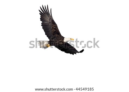 Bald Eagle in flight isolated on white - stock photo