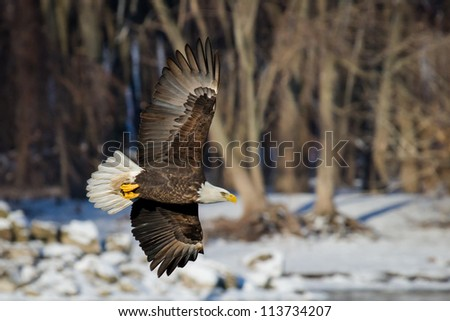Bald Eagle Intensity - stock photo