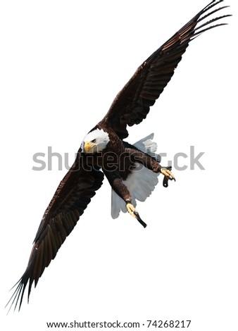 Bald eagle is flying isolated on white background. - stock photo