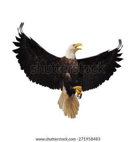 Bald eagle isolated on the white background. - stock photo