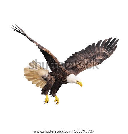 Bald eagle isolated on white background. - stock photo