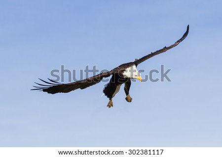 Bald eagle looking down. An impressive bald eagle scans the ground from her position in the  air. - stock photo