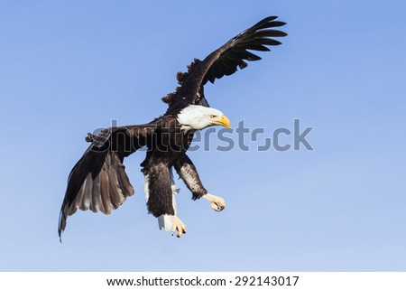 Bald eagle mid-air. A magnificent bald eagle appears to hang in the air as it begins its descent. - stock photo