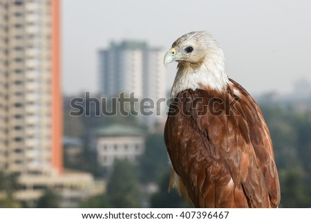 Bald eagle on black. birds of prey. Eagle eyes. Eagle sitting in apartment balcony. Cause of deforestation, unsafe nesting place in city - stock photo